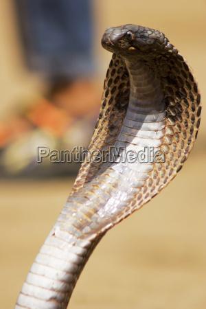 nahaufnahme einer kobra pushkar rajasthan indien