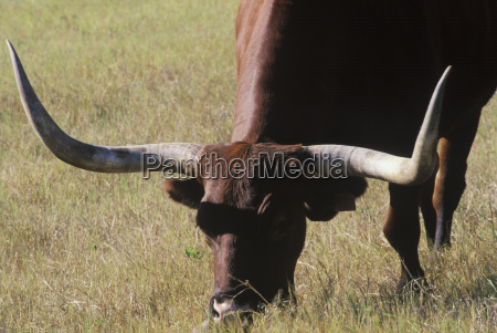 close up of a texas longhorn