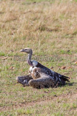 gaensegeier in der masai mara