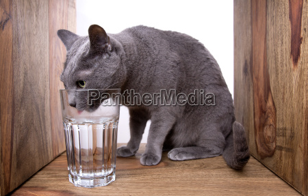 russian blue while drinking glass
