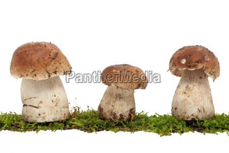 stone mushroom on moss