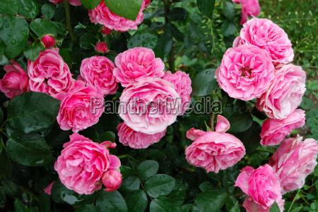 rosa strauchrose leonardo da vinci