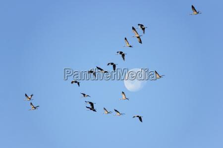 luna grua de aves migratorias aves