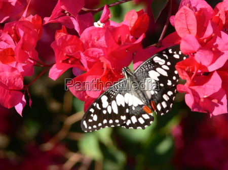 butterfly, in, australia, on, red, blossoms - 3845114