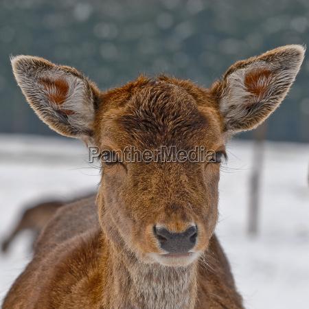 animal brown brownish brunette eyes look