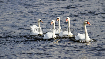 young mute swans swimming on the