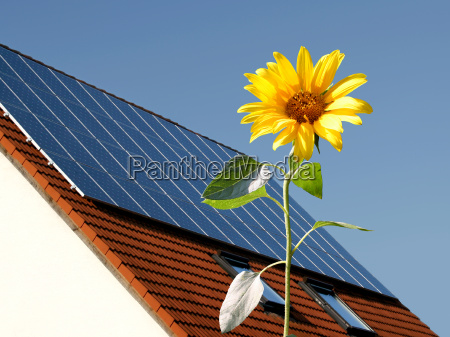 sunflower in front of solar cells