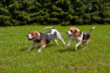 beaglepaar
