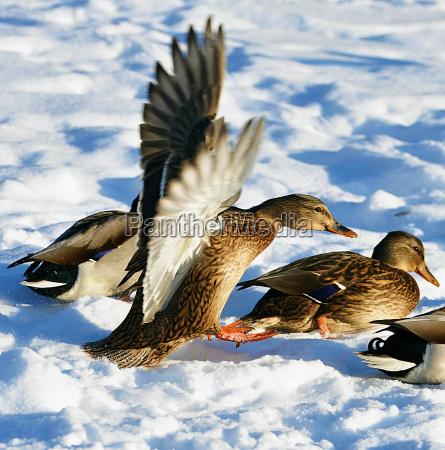 flug vogel flora ente maennchen ducken