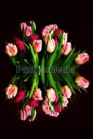 tulpen mit spiegeleffekt