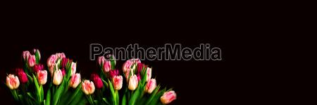 tulpen mit textfreifraum