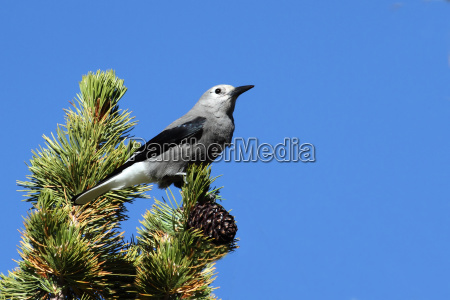baum vogel wild wildlife nussknacker natur