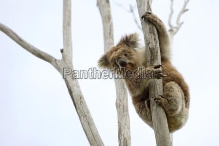 wilder koala auf einen baum