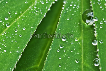lupine leaf with water drops