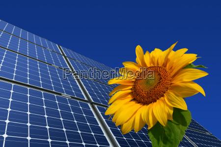 monocrystalline solar panels and sunflower