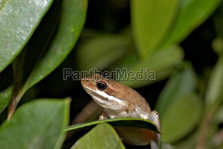 bleeting tree frog litoria dentata sitting