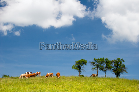 summer landscape with cows in thuringia