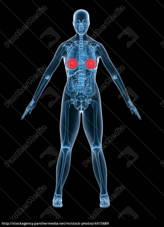 weibliche anatomie - brustdrüsen - Lizenzfreies Bild - #4415689 ...