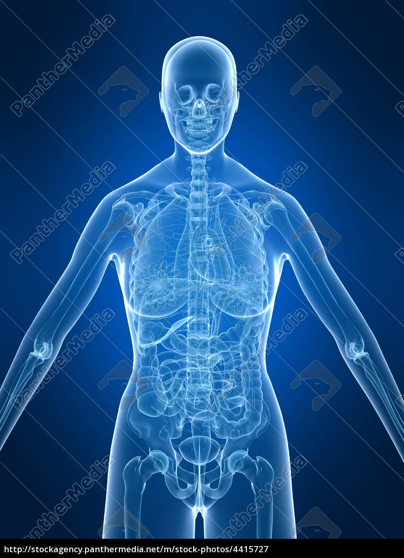 weibliche anatomie - Stockfoto - #4415727 - Bildagentur PantherMedia