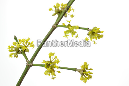 flowering of a cornelian cherry