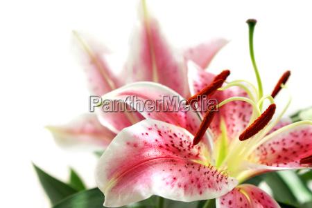 lilie lilien rosa pink freisteller weiss
