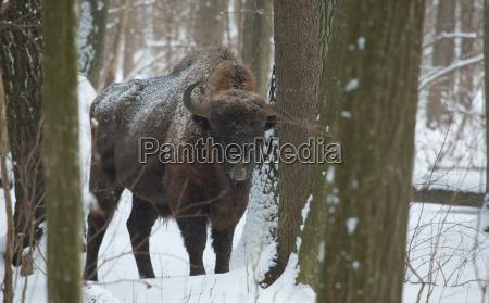 winter bulle weiss europid kaukasisch europaeisch