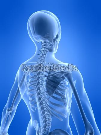 menschlichen skelett zurueck