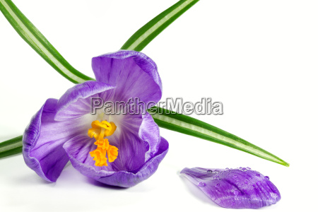 flowering crocus