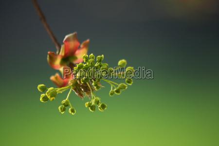 fresh green maple blossom