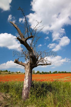 bare apple tree in front cornfield