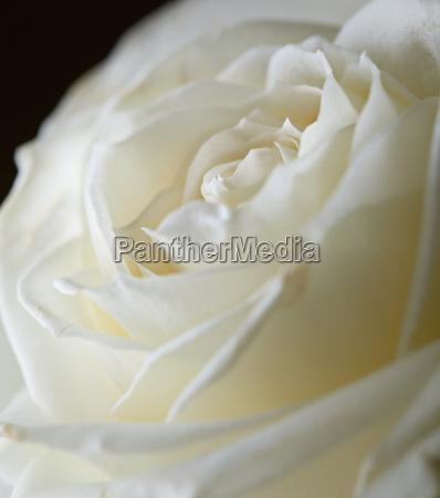 pastel colored rose