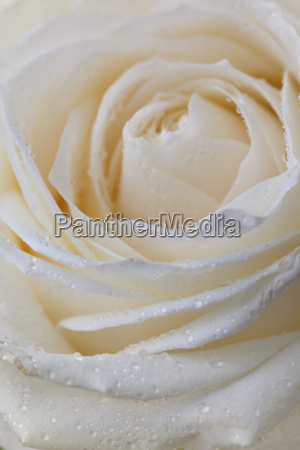 pastel rose with dew drops