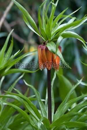 imperial crown fritillaria imperialis