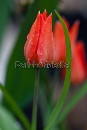red tulips in the morning dew