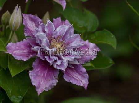 waldrebe clematis