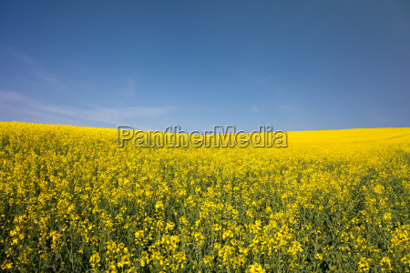 a rape field in may in