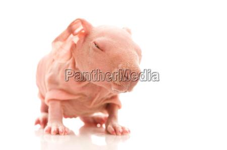skinny meerschweinchen auf dem weissen