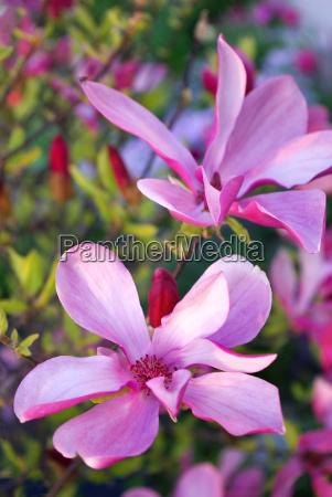 magnolie bluete knospe bluehen magnolienbluete