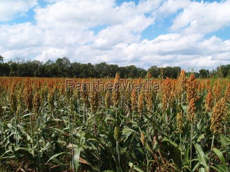 landwirtschaft ackerbau feld korn lese farm