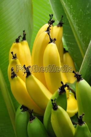 nahaufnahme von halb reifen bananenhaufen