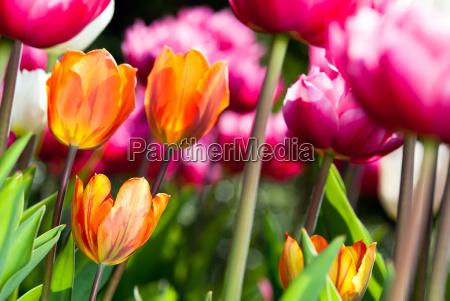 viele bunte tulpen v2
