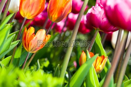 viele bunte tulpen v3
