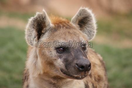 spotted lacht hyena crocuta crocuta