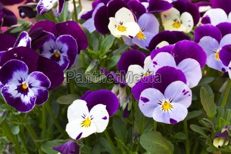 hornveilchen viola cornuta stiefmuetterchen