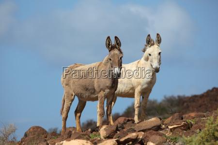 two donkeys