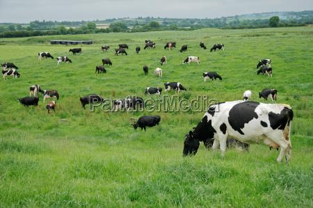 landwirtschaft ackerbau vieh farm kuehe bauernhof