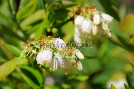 heidelbeere bluete bilberry flower 01