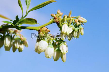 heidelbeere bluete bilberry flower 03