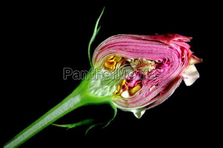 querschnitt einer rosenkonspe