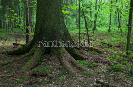 arbol raiz viejo bosque